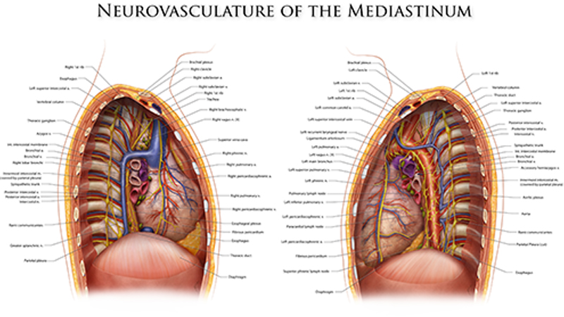 Neurovasculature of the Mediastinum