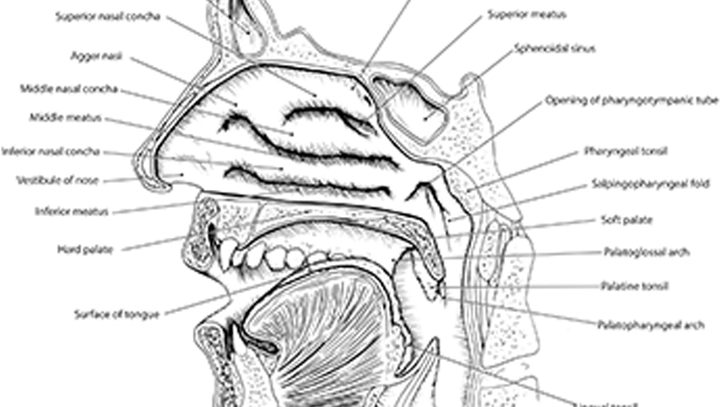Topography of Oral and Nasal Cavities