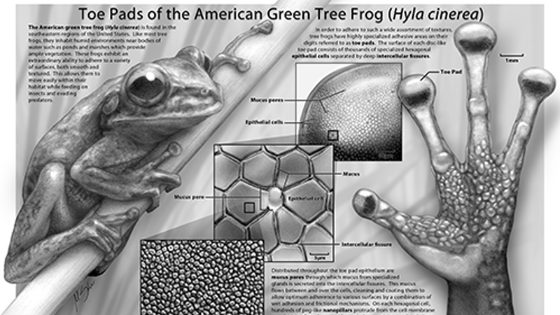 Toe Pads of the American Green Tree Frog